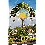 100 pcs Giant madagascar palm Tree Seeds, Tropical Ornamental Plants, Foliage Plant, Landscape Bonsai Tree Garden Decoration
