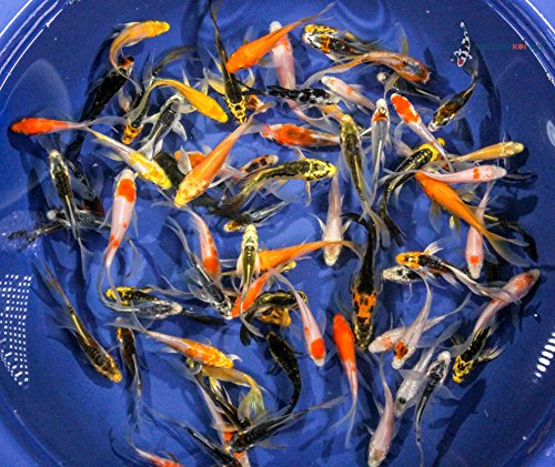 Blue Ridge Koi Grade A Butterfly Fin Koi by Live Pond Fish for Aquarium and Tank, Healthy and Bio-Secure - Live Arrival Guarantee ()