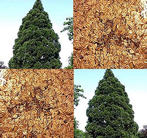 Big Pack - (500) Giant Sequoia, Sequoiadendron giganteum Tree Seeds - aka Bigtree, Sierra Redwood, Wellingtonia, Sierran Redwood - Non-GMO Seeds by MySeeds.Co (Big Pack - Giant Sequoia)