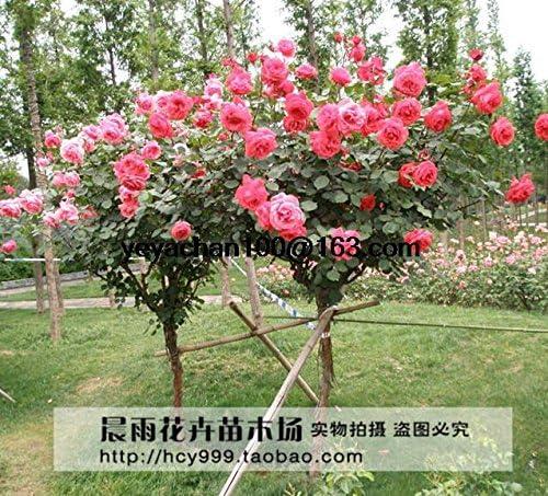 Rose semillas de árboles, jardín de DIY en maceta, flores de plantas Balcón Patio 100 piezas: Amazon.es: Jardín