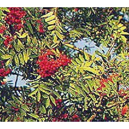 - European Mountain Ash Rowan Fruit Tree with Berries Nice Tree Live Plant #BK05