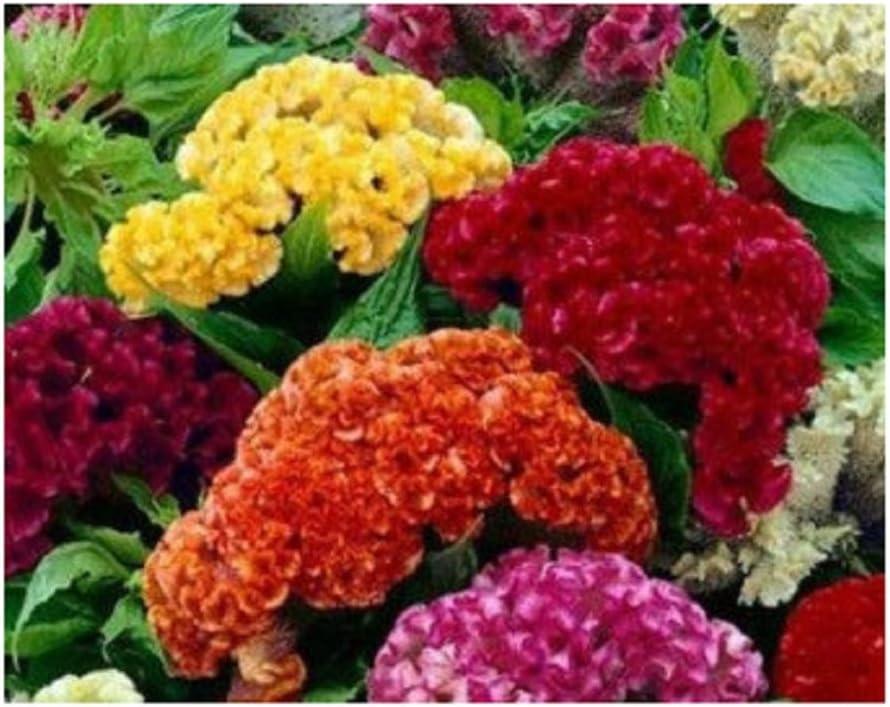 Fresh Cockscomb// Celosia Cristata Mix Flower Seeds 30 US Seller Editable