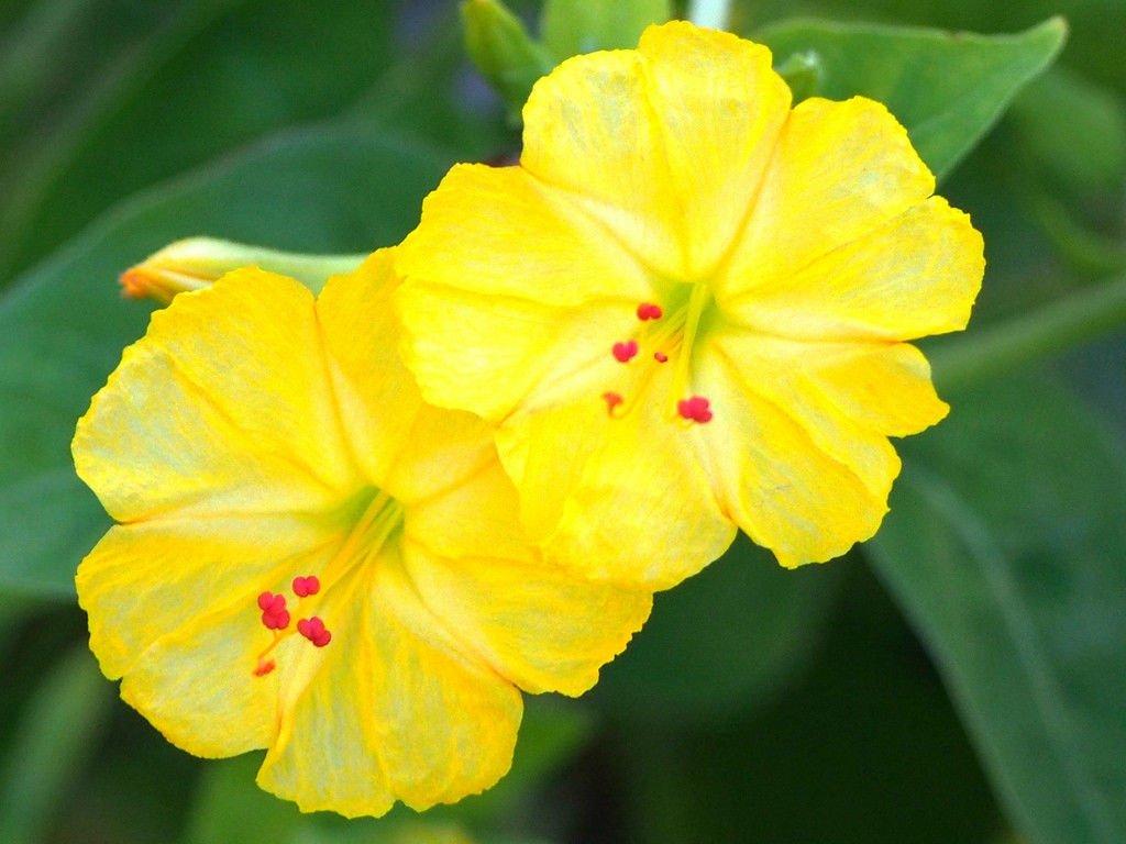 Amazon Yellow Four Oclock Mirabilis Jalapa Fragrant Caudex