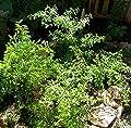 "Kama Sutra Jamaican/Costa Rican Mint Plant -Satureja viminea-Savory/Minty-4"" Pot"