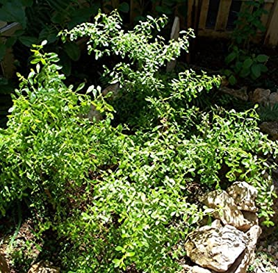 "Kama Sutra Jamaican/Costa Rican Mint Plant - Satureja - Savory/Minty - 4"" Pot"