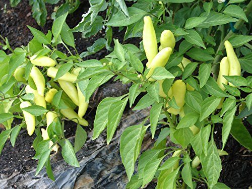 24 PEPPERS MARIACHI Live Plants Spring Vegetable Plant Non-GMO Healthy Strong Root - 24 LIVE PLANTS - w FREE GIFT per request - From Bellacia Garden (Mariachi Pepper Seeds)