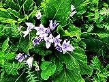 10 Seeds of Mandragora autumnalis, Autumn Mandrake, Satan's Apple, Devil's Apple, Devil's Herb