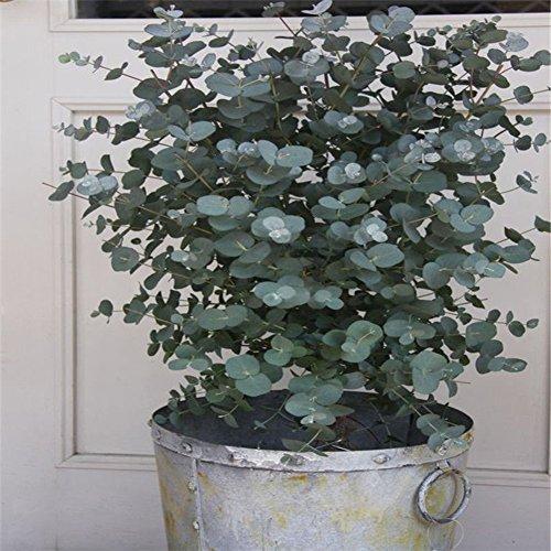 30Pcs Eucalyptus Tree Seeds Bonsai Plant Aromatherapy Tropical Home Decoration