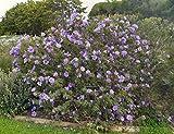 Alyogyne huegelii | Blue Hibiscus | 20_seeds
