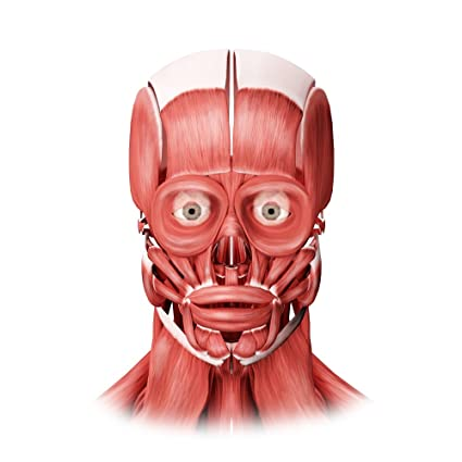 Front view facial muscle medical posters