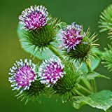 Burdock Seeds (Arcticum lappa) 50+ Medicinal Culinary Herb Seeds in FROZEN SEED CAPSULES for the Gardener & Rare Seeds Collector - Plant Seeds Now or Save Seeds for Years