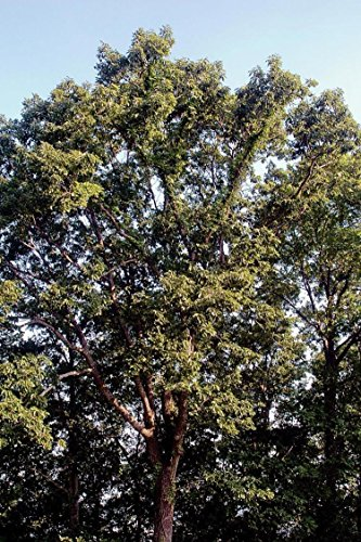 Swamp Chestnut Oak Tree Quercus mixhauxii Established Roots 1 Gallon Trade -