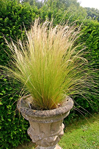 Mexican Feather Grass - MEXICAN FEATHER GRASS, 103 SEEDS, STIPA TENUISSMA, HARDY, LOW WATER, EZ TO GROW