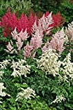 Bloomsz Astilbe Collection Bulbs 8 Pack