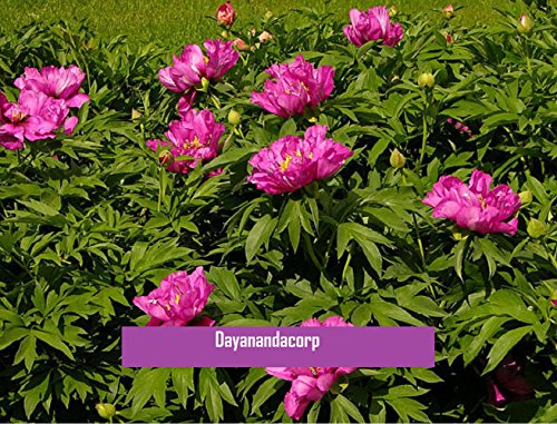 20 Pcs Herbaceous Tree Peony Hybrid Seeds Paeonia Morning Lilac Seeds Peony Flower Seeds For Bonsai Perennial Garden Plant Seeds ()