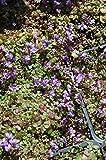 Kenilworth Ivy Seeds (Cymbalaria Muralis) (200)