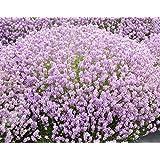 Pack x6 English Lavender 'Rosea' Perennial Garden Plug Plants Pink Lavender