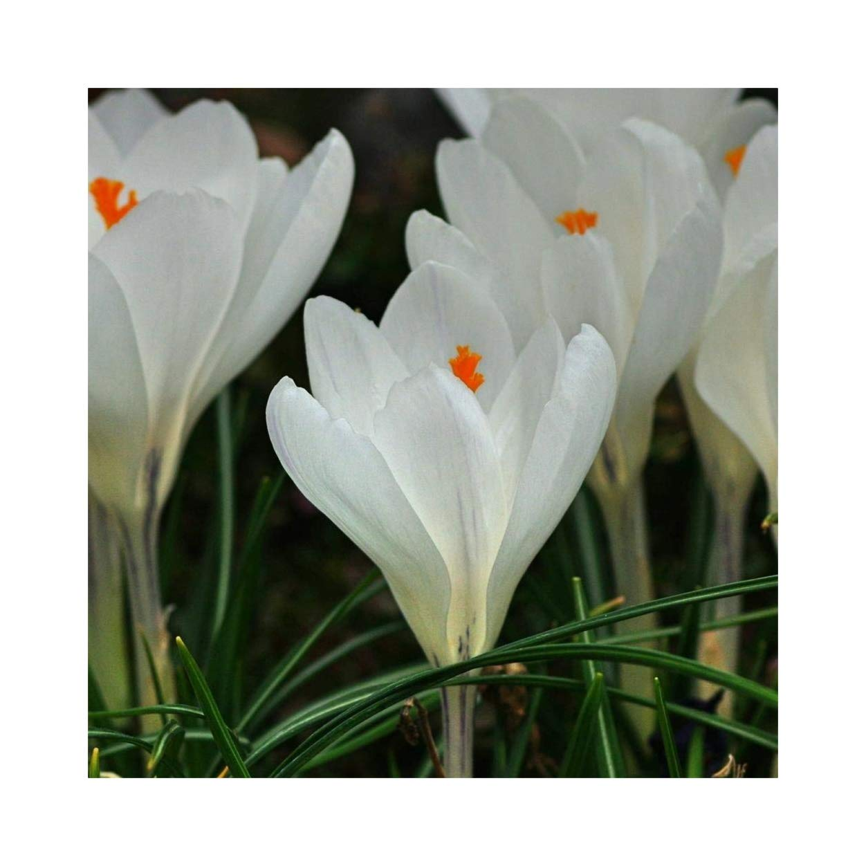 100 Crocus vernus Jeanne d'Arc Large Spring Flowering Bulbs White by Plug Plants Express Limited