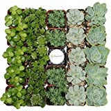 Shop Succulents Green Succulent (Collection of 40)