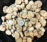 1 Pound of Fossilized Hemiaster Echinoids - Bulk Fossils by GoldNuggetMiner