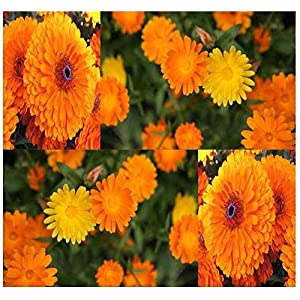 Calendula Flower Seeds - PACIFIC BEAUTY MIX - Medicinal Herb & EDIBLE FLOWERS SELF-RESEEDS - Zone 3 - 10 11