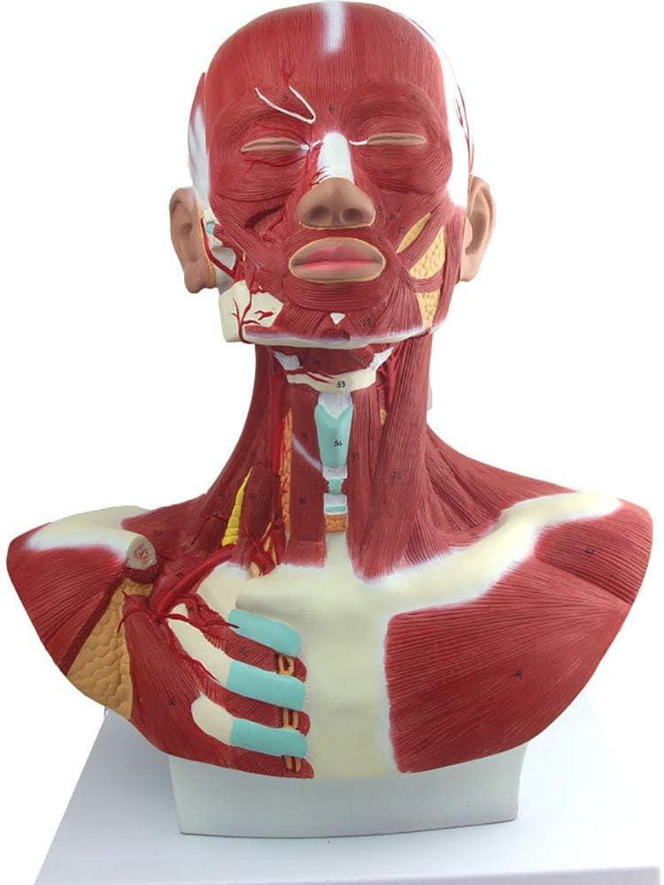 Cabeza y cuello músculo del pecho Modelo anatómico, Cabeza humana y de los músculos faciales anatomía Modelo para la Micro Cirugía Plástica Formación, cirugía de los músculos faciales