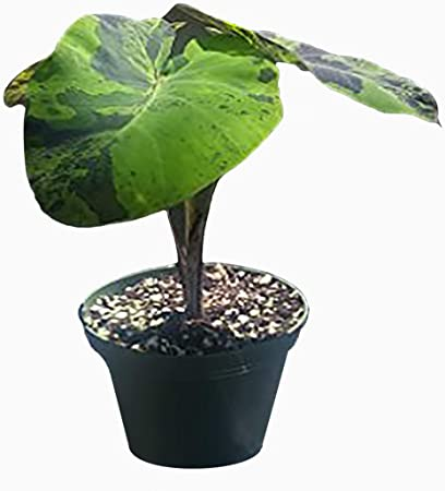 Amazon Com 9greenbox Mojito Elephants Ear 4 Pot Live Plant