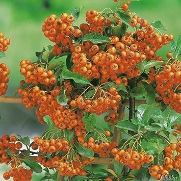 Feuerdorn Orange Glow Pyracantha Orange Immergrune Pflanze Als