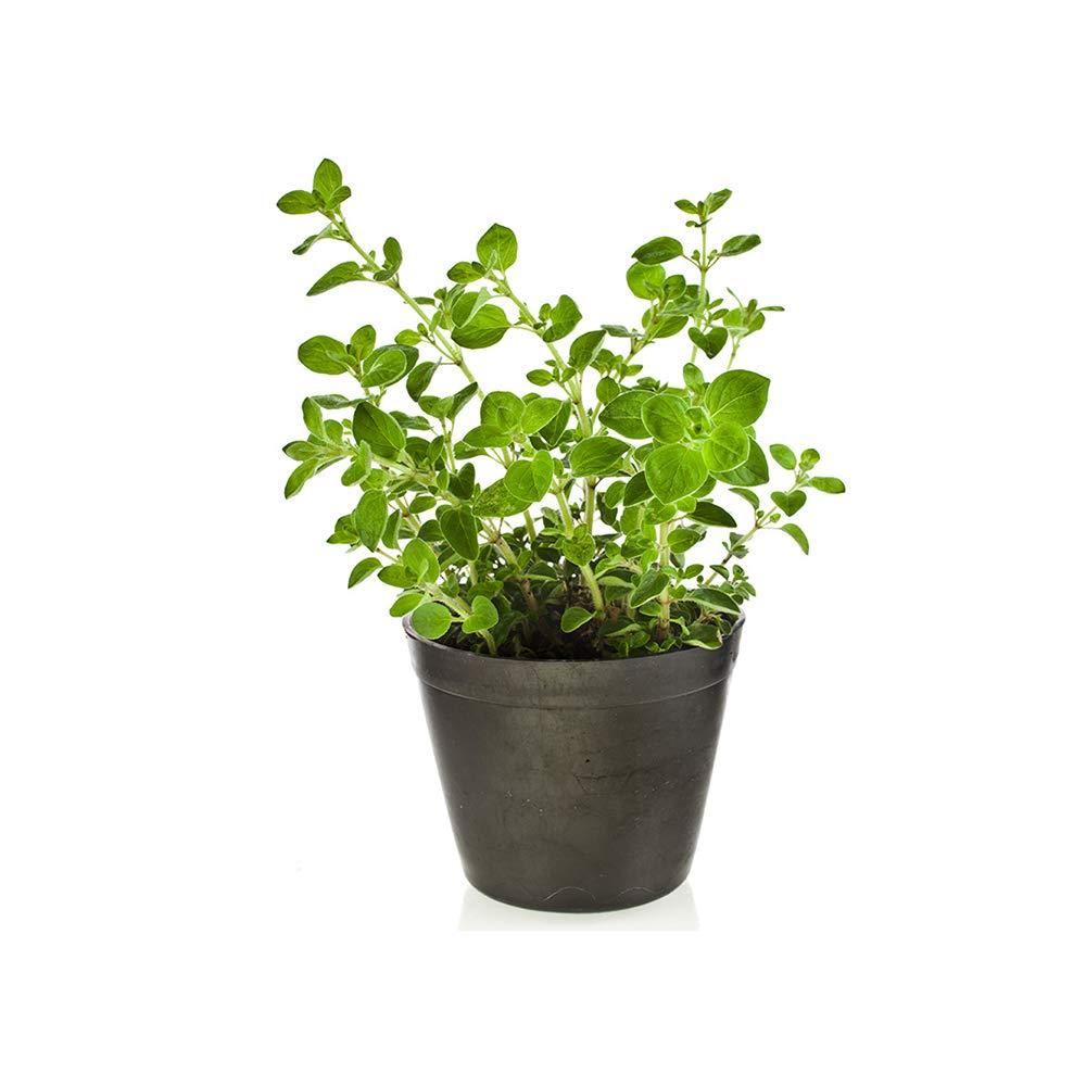 AMERICAN PLANT EXCHANGE Oregano Indoor/Outdoor Live, 1 Gallon, Cooking Spice