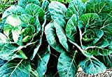 """""""Georgia Southern"""" Collard Seeds - Dark Blue-Green Cabbage-like Delicious Leaves"""