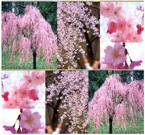 Amazon Com Japanese Weeping Cherry Tree Seed Prunus