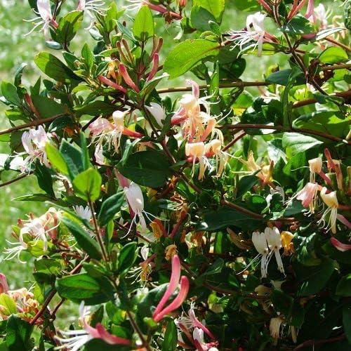 Madreselva Red World (Lonicera): (para jardin, balcón y patio) – Maceta de 1.5 litro (Planta trepadora -