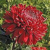 Cranbrae Red Chrysanthemum 40 Seeds (Asteraceae) Upc 647923989168 + 1 Free Plant Marker