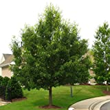 Sawtooth Oak Tree Quercus alba Heavy Established Roots 1 Trade Gallon Pot - 1 plant by Growers Solution