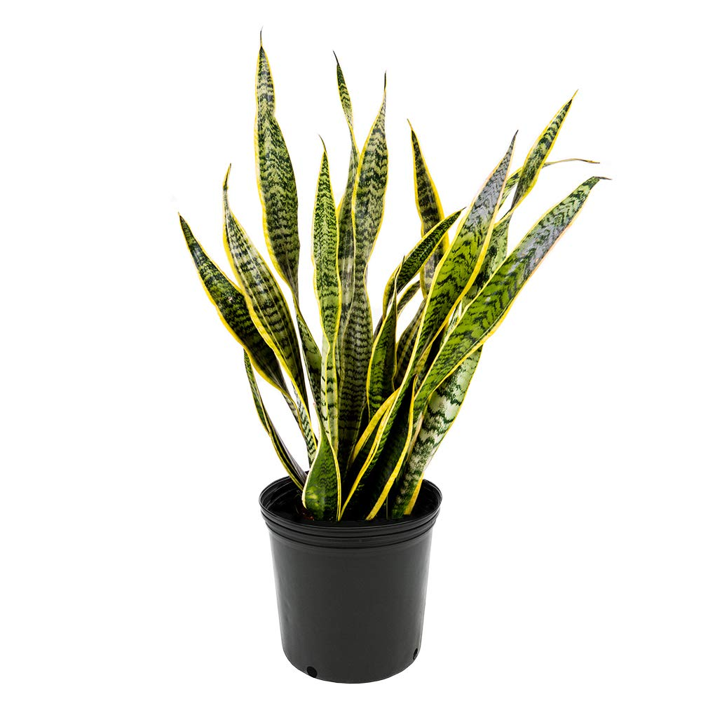 AMERICAN PLANT EXCHANGE Sansevieria Trifasciata Laurentii Live Plant, 3 Gallon, Indoor/Outdoor Air Purifier by AMERICAN PLANT EXCHANGE