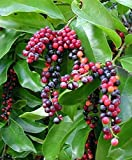 10 Seeds Antidesma bunius Bignay, Buni, Salamander Fruit Tree