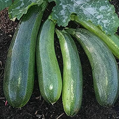 Elite Hybrid Zucchini Summer Squash Garden Seeds - Non-GMO - Vegetable Gardening Seed