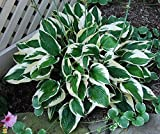 1 Starter Plant Patriot Hosta in 2 Quart Square Pot