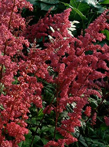 Astilbe arendsii 'Fanal' False Spirea - set of 18 plants shipped - False Spirea Astilbe