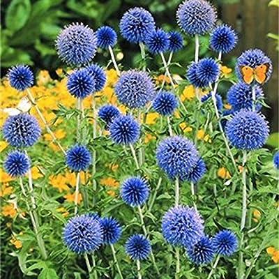 Inovey 100 Pcs Cebolla Gigante Allium Giganteum Planta Semillas ...