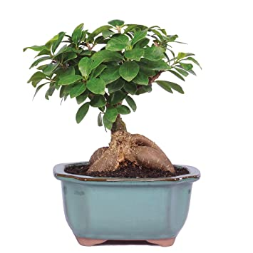 Amazon.com: Brussel\'s Gensing Grafted Ficus Bonsai - Small ...