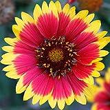 Blanket Flower Gaillardia Wildflower Seeds - 1 Oz - Perennial Wild Flower Garden Seeds - Gaillardia aristata