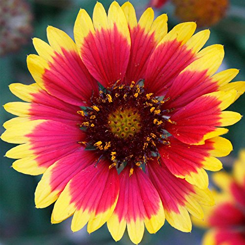 Blanket Flower Gaillardia Wildflower Seeds - 1 Oz - Perennial Wild Flower Garden Seeds - Gaillardia aristata by Mountain Valley Seed Company