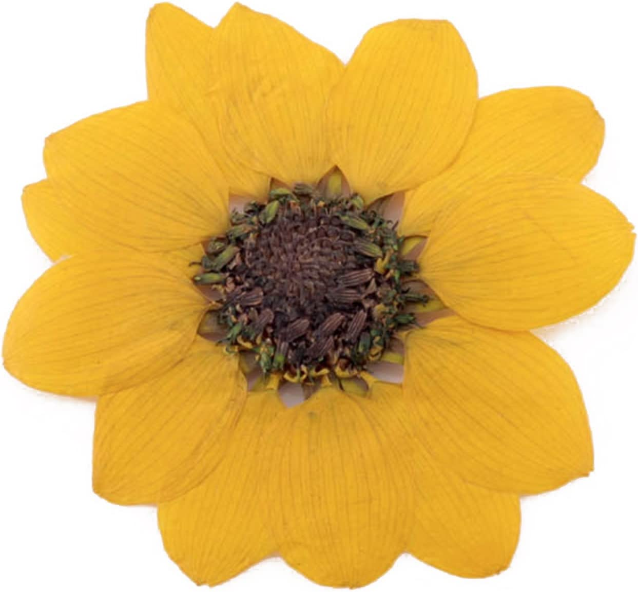 scrapbooking Pressed flowers Sunflower 10pcs for floral art craft