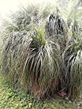 Nolina bigelovii BEAR GRASS Hardy Exotic SEEDS!