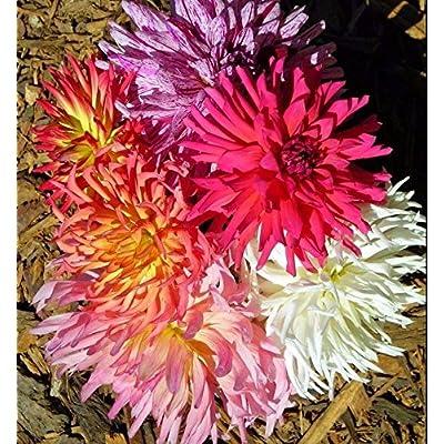 Zinnia Super Cactus Mix 250 Seeds : Garden & Outdoor