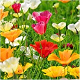 Package of 2,000 Seeds, California Poppy Mixture (Eschscholzia californica) Non-GMO Seeds by Seed Needs