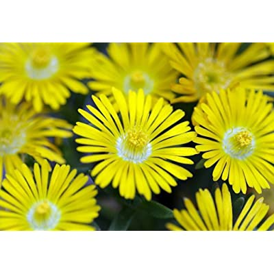 Golden Wonder Ice Plant - Perennial - Delosperma - Live Plant - Quart Pot : Garden & Outdoor