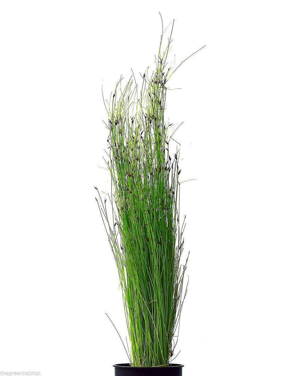 Tkhabitat 2 Giant Hairgrass Eleocharis Vivipara Live Freshwater Plants Java Moss Baby Tears
