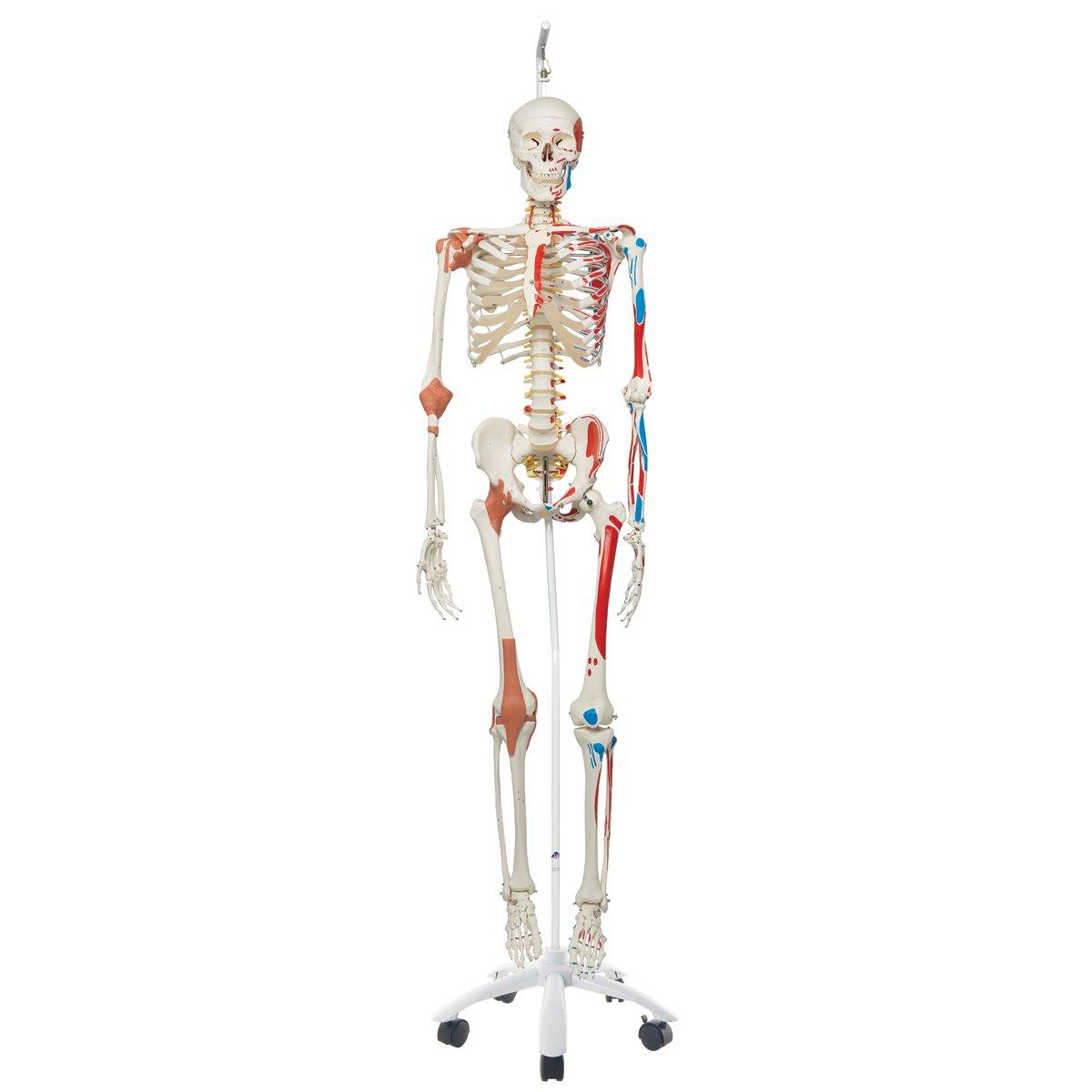 3B Scientific Luxus-Skelett an Hängestativ: Amazon.de: Gewerbe ...